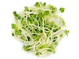 Germogli origine italia - alfalfa - bietola rossa