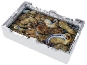 Moscardino g (polpo colore) fresco pescato fao 27/37